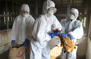 Indian health specialists in January remove birds from a poultry farm where the avian influenza virus was found. Public health officials and experts are meeting in Maryland this week to discuss potential new U.S. rules for grant funding for bird flu research (AP Photo/Sushanta Das).