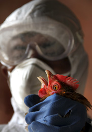 An Indian health official removes a bird from a poultry farm facing an avian influenza outbreak in January. Scientists at a U.S.-sponsored international meeting voiced support on Tuesday for conducting additional research involving the creation of more communicable or virulent H5N1 strains (AP Photo/Sushanta Das).