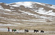 (Mar. 30) -A herder last year guides cattle through a frozen area in Mongolia's Tuv province. The United States and Mongolia have informally discussed the possibility of the Asian nation hosting a spent nuclear-fuel repository for the region, a high-level U.S. diplomat said yesterday (Paula Bronstein/Getty Images).