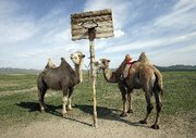 (Sep. 30) -Camels are seen tied to a basketball net in Mongolia's Hustai National Park in 2006. A high-level U.S. Energy Department official this week challenged an assertion that the Obama administration has explored the idea of Mongolia hosting a regional repository for foreign-origin spent nuclear fuel (Koichi Kamoshida/Getty Images).